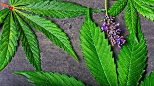 Botanical Extraction: Preserving the Natural Cannabis Terpenes